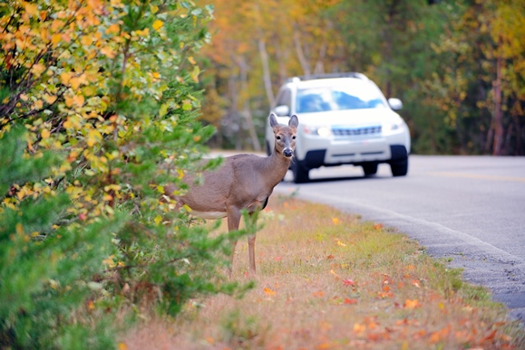 Deer Accidents and Car Insurance Claims - Trident ...